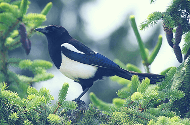 magpie, bird, pica, dirt, eat dirt, non-food stuff